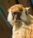 Grappige Macaque-aap Stock Afbeelding