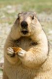 Grappige marmot met bisquit op de weide Stock Afbeeldingen