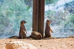 Grappige meercats royalty-vrije stock foto