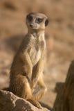 Grappige meerkat royalty-vrije stock foto