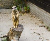 Grappige meerkat die zich op een boomboomstam bevinden en in de camera kijken stock fotografie