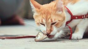 Grappige mooie verbazende leuke rode witte kat die in rode kraag verse vissen op de openlucht, zonnige de zomer goede dag eten stock videobeelden