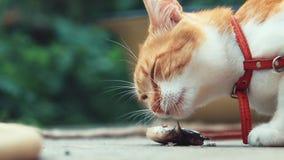 Grappige mooie verbazende leuke rode witte kat die in rode kraag verse vissen op de openlucht, zonnige de zomer goede dag eten stock video