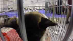 Grappige neus van volbloed- puppy met nieuwsgierigheid het snuiven camera, aanbiddelijk huisdier stock video