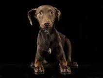 Grappige oren gemengde rassen bruine hond die in zwarte studio liggen backgroun Stock Afbeeldingen