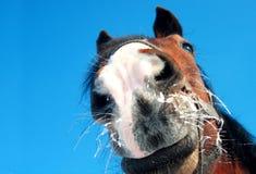 Grappige paardclose-up op blauwe achtergrond Royalty-vrije Stock Foto