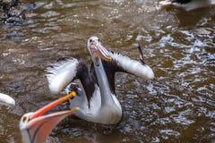 Grappige pelikaan met mond de brede open status van en het vangen van een vis royalty-vrije stock foto's