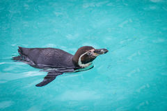 Grappige pinguïnen Royalty-vrije Stock Foto