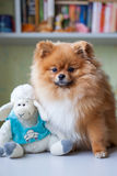 Grappige Pomeranian met stuk speelgoed zitting in een binnenland Royalty-vrije Stock Foto