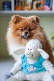 Grappige Pomeranian met stuk speelgoed zitting in een binnenland Royalty-vrije Stock Afbeelding