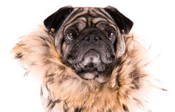 Grappige Pug Royalty-vrije Stock Afbeelding