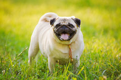 Grappige pug stock afbeelding