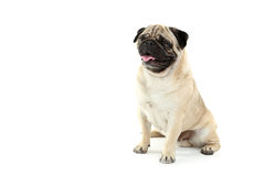 Grappige pug hond Stock Foto's