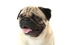 Grappige pug hond Stock Afbeeldingen