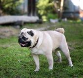 Grappige pug hond op een groene achtergrond Stock Foto