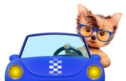 Grappige puppypuppy die in cabriolet zitten Royalty-vrije Stock Afbeeldingen