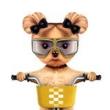 Grappige raceautohond met fiets Het concept van de sport Stock Afbeelding