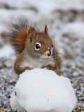 Grappige rode eekhoorn Stock Afbeeldingen