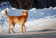 Grappige rode hond op een witte achtergrond Royalty-vrije Stock Foto
