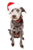 Grappige Santa Claus Terrier Crossbreed Dog Royalty-vrije Stock Afbeeldingen