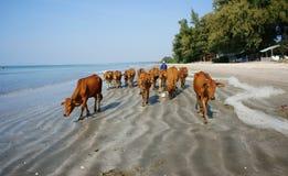 Grappige scène, kudde van koe op strand Stock Foto's