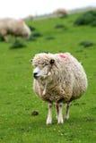 Grappige schapen Royalty-vrije Stock Afbeelding