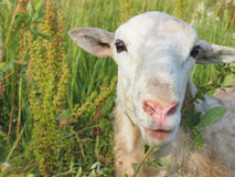 Grappige schapen Stock Afbeelding