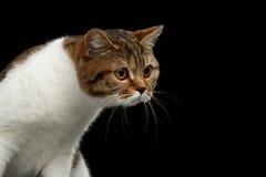 Grappige Schotse Rechte Mannelijke Cat Raising Head, Geïsoleerde Zwarte Achtergrond stock afbeeldingen