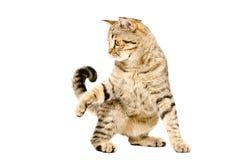 Grappige speelse katten Schotse Recht Stock Afbeeldingen