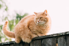Grappige Vette Rode Cat Sitting On Fence Stock Afbeelding