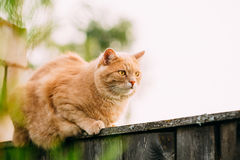 Grappige Vette Rode Cat Sitting On Fence Stock Afbeeldingen