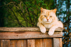 Grappige Vette Rode Cat Sitting On Fence In-de Zomerdag Royalty-vrije Stock Afbeelding