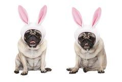 Grappige weinig Pasen-pug puppyhonden, gaand zitten die, Pasen-konijntje GLB met oren dragen royalty-vrije stock afbeeldingen