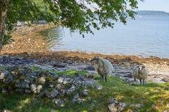 Grappige wilde schapen Stock Foto