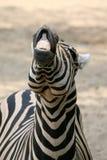 Grappige Zebra Stock Foto's