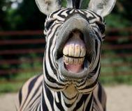 Grappige zebra Royalty-vrije Stock Afbeeldingen