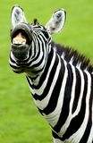 Grappige zebra Stock Afbeelding