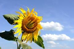 Grappige zonnebloem Royalty-vrije Stock Afbeeldingen