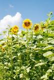 Grappige zonnebloem met zonnebril Stock Foto's