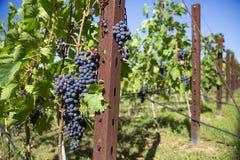 Grapres mûrs d'un vignoble toscan de chianti photographie stock libre de droits