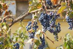 Graps mûr sur la vigne Photos libres de droits