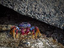 Grapsus adscensionis - red rock crab, standing on a rock in Puerto Rico, Gran Canaria, Spain. December 2017 Royalty Free Stock Photo