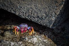 Grapsus adscensionis - red rock crab, standing on a rock in Puerto Rico, Gran Canaria, Spain. December 2017 Royalty Free Stock Image