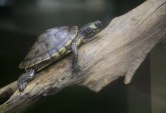 Graptemys barbouri. Or a Barbour's Map Turtle sitting on a log Royalty Free Stock Photography