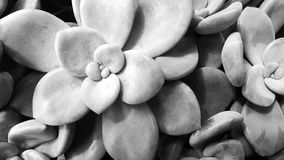 Graptopetalum Images stock