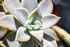 Graptopetalum paraguayense Ghost Plant royalty free stock photography