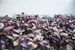 Graptophyllum pictum Royalty Free Stock Image