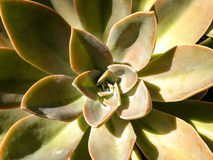 Graptoveria foto de stock royalty free