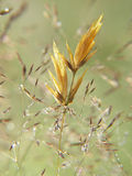Gras. S with drop of water; meadow in the morning Royalty Free Stock Images