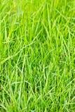 Gras Stock Afbeelding